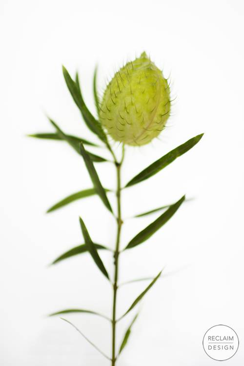 Botanical Fine Art Print - Balloon Plant | Reclaim Design