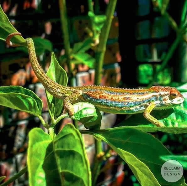 Cape chameleon in our vibrant food garden | Reclaim Design