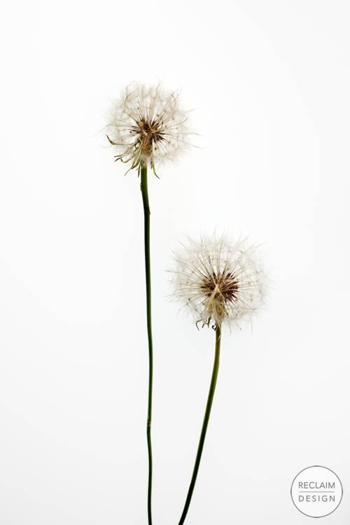 Botanical Fine Art Print - Dandelion | Reclaim Design