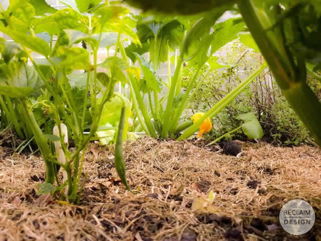 Ground cover in our food garden to help retain moisture | Reclaim Design