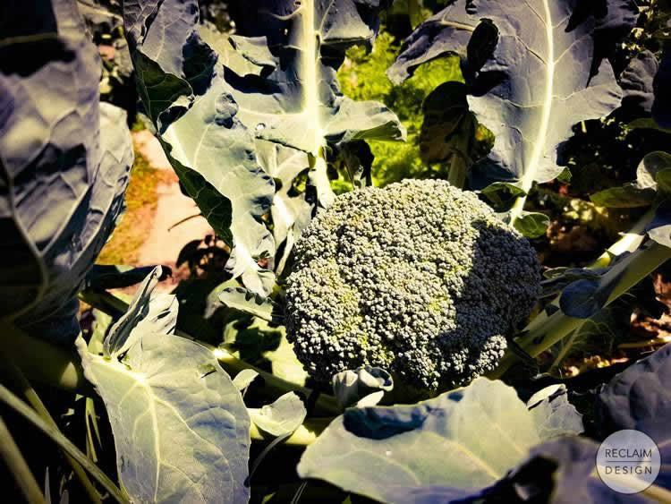 Organic broccolli from our garden   Reclaim Design