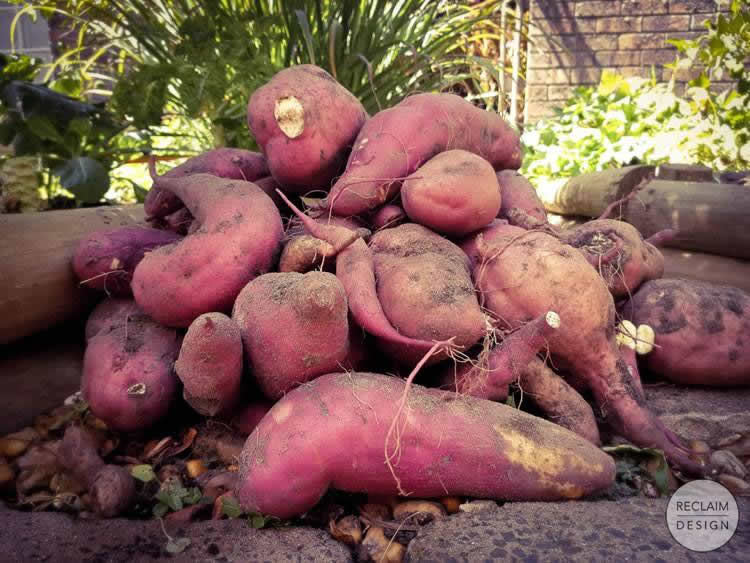 Organic sweet potatoes from our garden   Reclaim Design